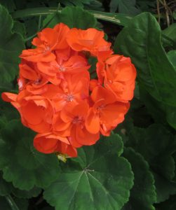 Pelargonium_'Rocky_Mountain_Orange'2